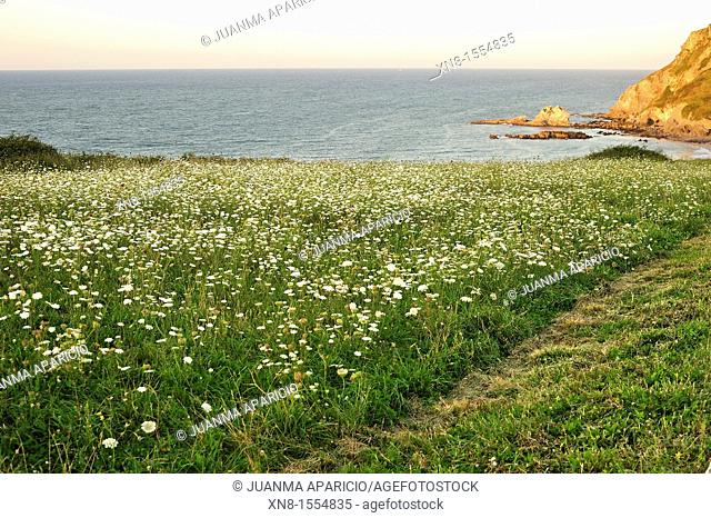 Grass field with flowers by the sea in Laredo, Cantabria, Spain