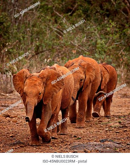 Elephants walking together on path
