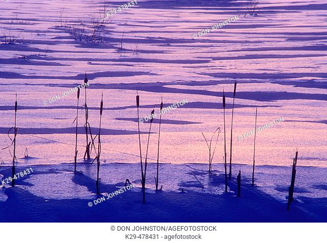 Ice coated cattails (Typha spp.) silhouetted against ice patterns after sunset near Kelly Lake. Sudbury, Ontario, Canada