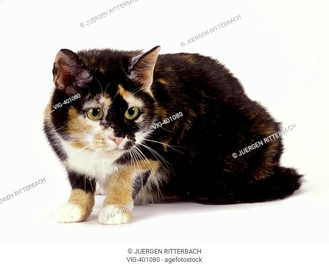 coloured domestic cat on white background, creeping - GERMANY, 15/02/2007