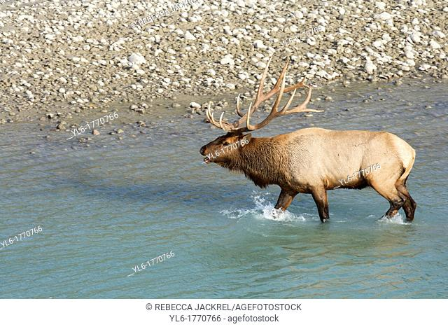 A bull elk walks from the glacial fed river in Jasper National Park