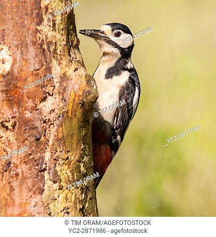A Great Spotted Woodpecker (Dendrocopos major) on a tree in the uk
