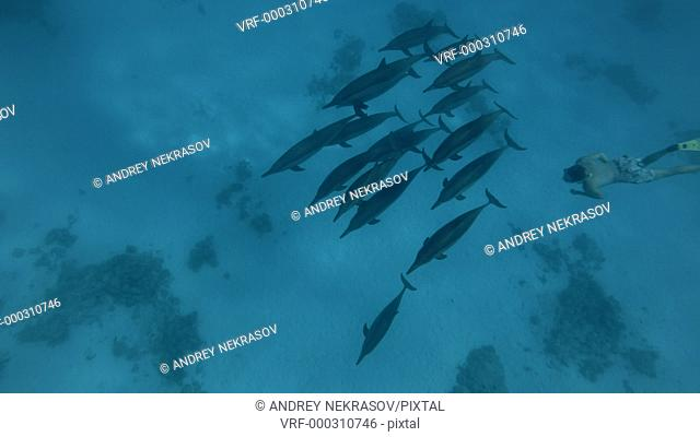Freediver swim with a pod of Spinner dolphins - Stenella longirostris swims in the blue water. Underwater shot, High-angle shot
