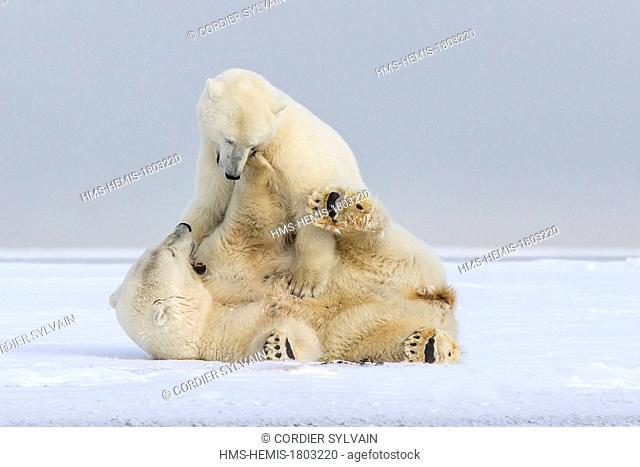 United States, Alaska, Arctic National Wildlife Refuge, Kaktovik, Polar Bear( Ursus maritimus ), subadults playing along a barrier island outside Kaktovik