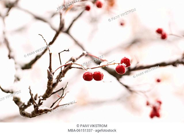 Close-up of snow-covered red rowan berries, Finland