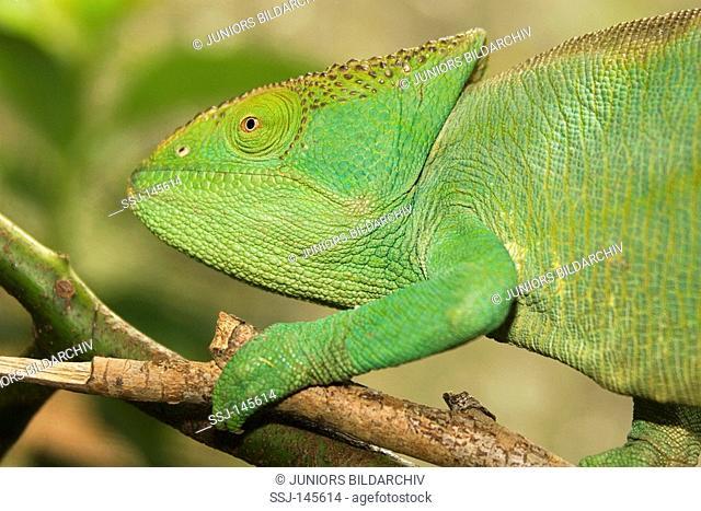 Parson's chameleon - sitting on branch / Calumma parsonii