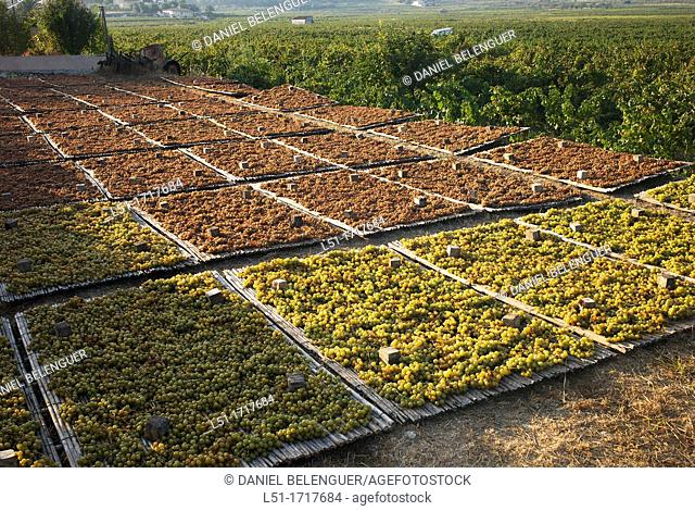Moscatel grapes drying at sun on drying shed, Lliber, Alicante, Spain