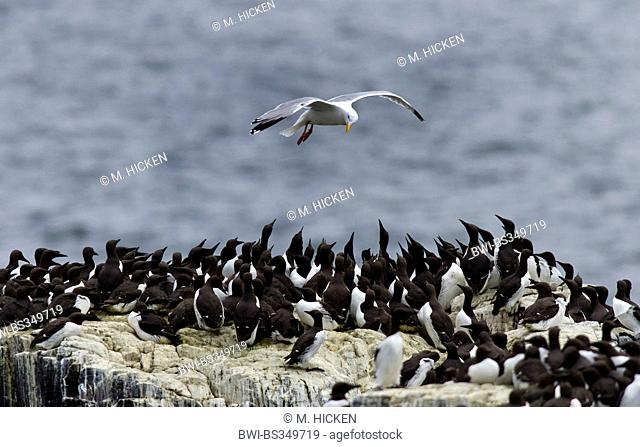 herring gull (Larus argentatus), flying over breeding colony of common guillemots, United Kingdom, England, Northumberland, Farne Islands
