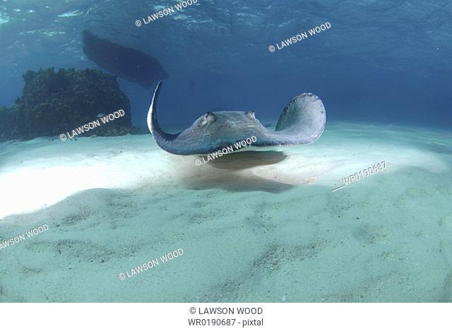 Southern Stingray Dasyatis americana, swimming over sandy seabed, Cayman Islands, Caribbaen