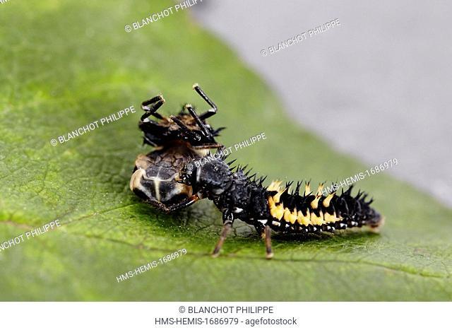 France, Coleoptera, Coccinellidae, Harlequin ladybird, Multicolored Asian lady beetle or Halloween lady beetle (Harmonia axyridis), larval cannibalism