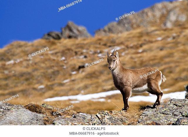 Lombardy, Italy. Ibex