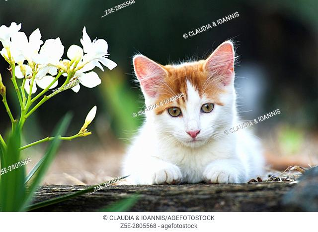 White and red kitten lying on a wall in the garden and looking at camera