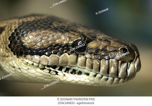 12cda9c60d3 Diamond python Stock Photos and Images