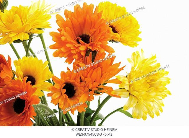 Marigold flowers, Calendula Officinalis, close-up
