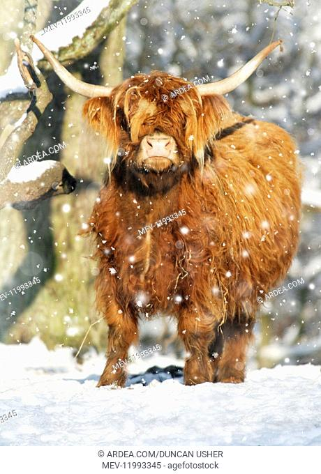 Scottish Highland Cow - in snow, Lower Saxony, Germany Digital manipulation