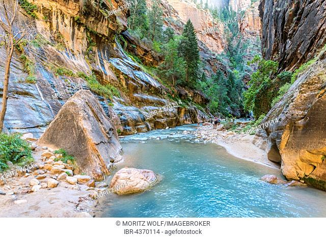 Hikers in river, The Narrows, Virgin River, steep walls, Zion Canyon, Zion National Park, Utah, USA