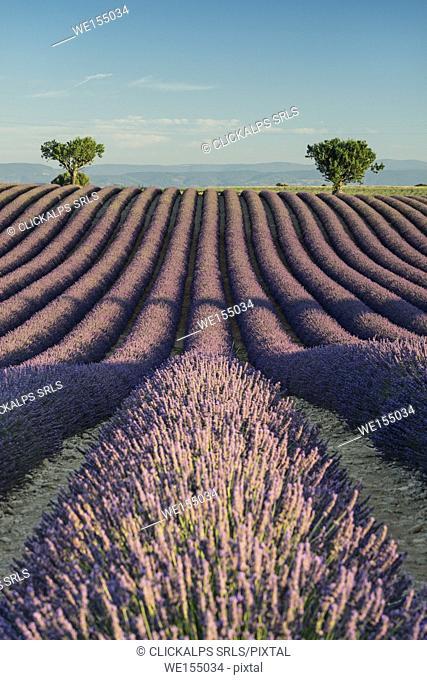 Provence, Southern France, France. Lavander field