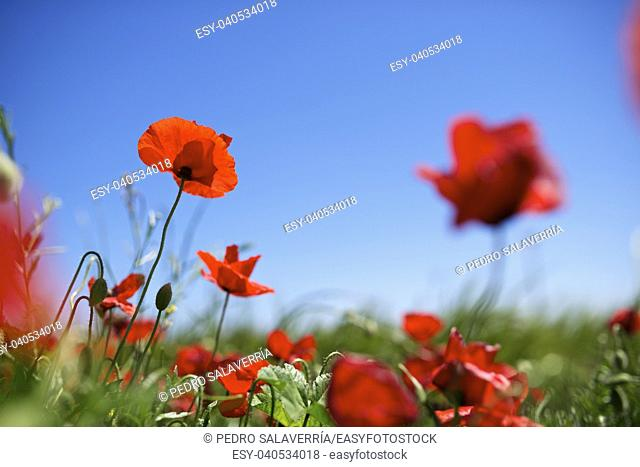 Close up of a poppy in a meadow of grass