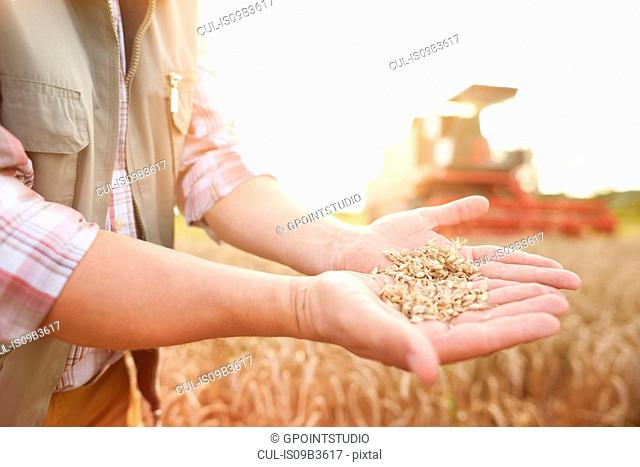 Cropped view of farmer in wheat field holding wheat grains