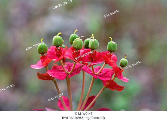 Creeping Spurge, Donkey Tail, Myrtle Spurge (Euphorbia myrsinites), seed head, Greece, Lesbos