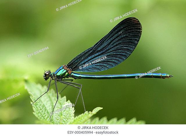 Closeup of dragonfly Calopteryx virgo