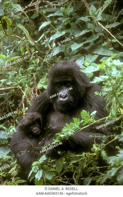 Mountain Gorilla with Baby (Gorilla g. beringei), Rwanda