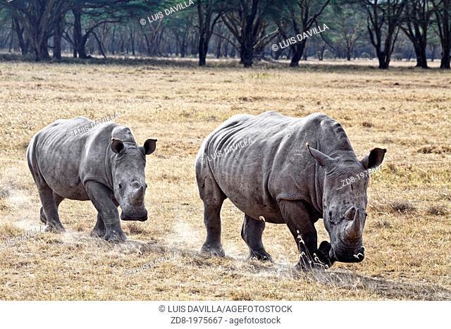 rhinos in nakuru national park in kenia