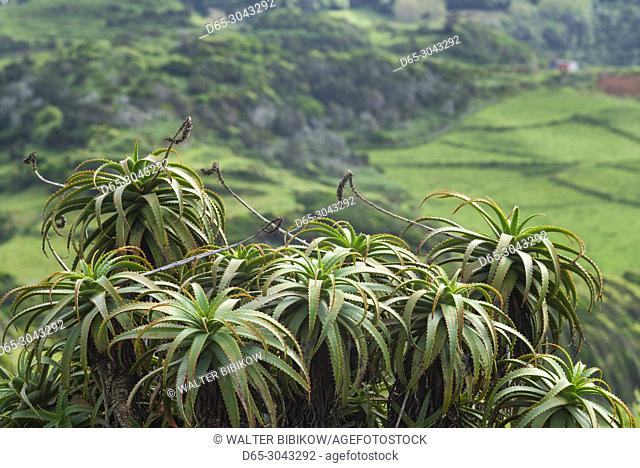 Portugal, Azores, Santa Maria Island, Norte, aloe plants