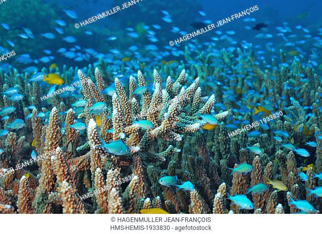 Philippines, Visayas, Cebu, coral reef in the Sulu sea