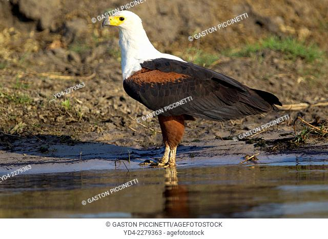African fish-eagle (haliaeetus vocifer), in the river, Chobe National Park, Botswana