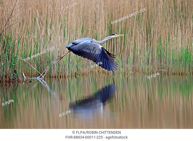 Grey Heron (Ardea cinerea) take off flying Hickling Norfolk UK May