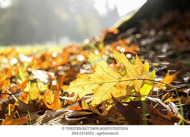 Fallen Leaf and Spiderweb Backlit by Sun in Autumn. Botanica Recreational Park. Bad Schallerbach. Austria