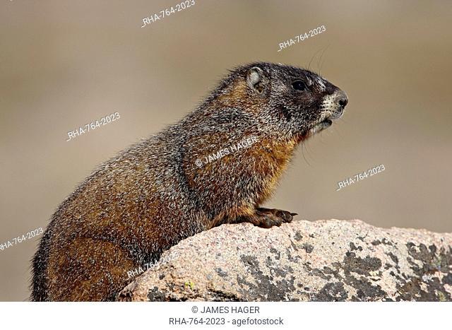 Yellowbelly marmot yellow-bellied marmot Marmota flaviventris, Mount Evans, Colorado, United States of America, North America