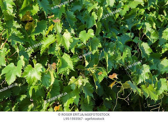 Decorative vine plants on a stone fence, Spain