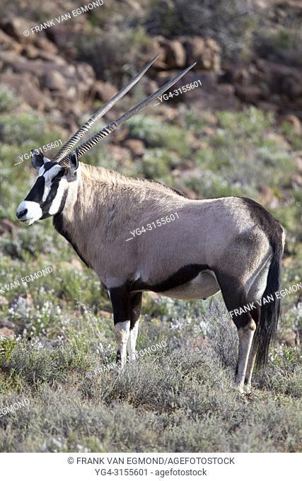 Gemsbok, Karoo National Park