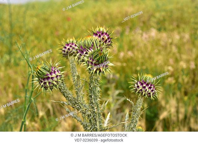 Illiyrian thistle (Onopordum illyricum) is a biennial erect herb native to southern Europe and Turkey. This photo was taken in Castrotorafe, Zamora province