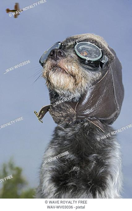 Mixed breed dog dressed in leather cap and aviator glasses looking skyward, Canada, Alberta