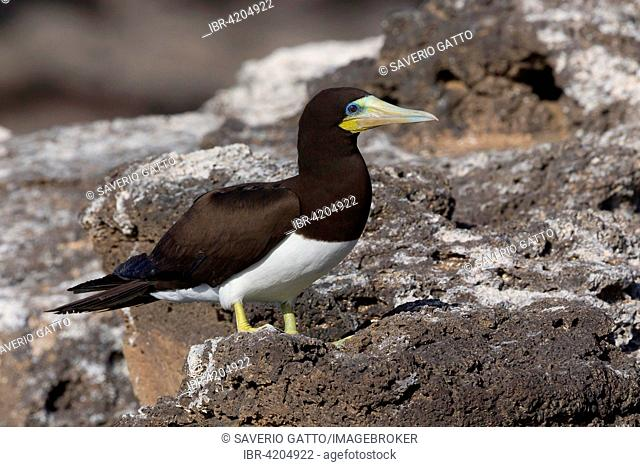 Brown Booby (Sula leucogaster), adult bird perched on rocks, Razo, Cape Verde