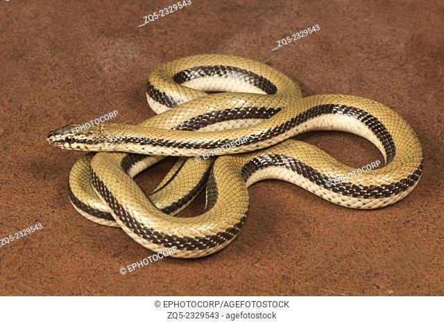 Smooth snake Coronella sp. Family: Colubridae, Gujarat, India