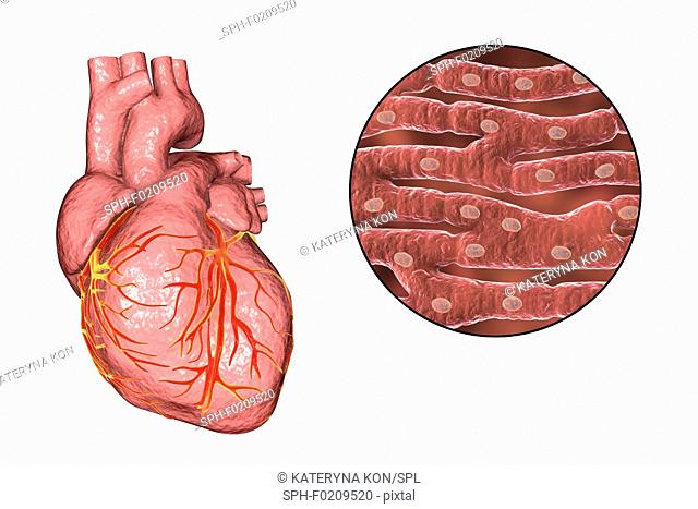 Human heart and cardiac muscle, illustration