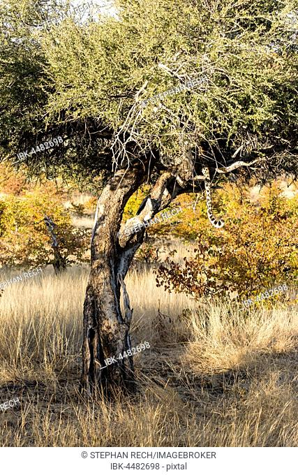 Leopard (Panthera pardus) hiding in the tree, Mashatu Game Reserve, Tuli Block, Botswana