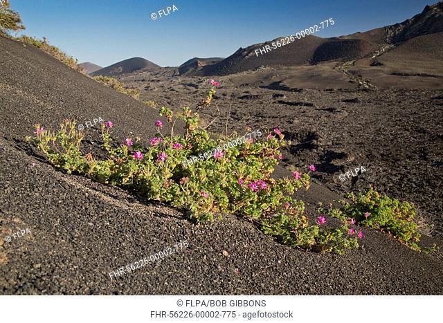 Rose-scented Pelargonium (Pelargonium capitatum) introduced species, flowering, growing on lava in volcanic habitat, Lanzarote, Canary Islands, March