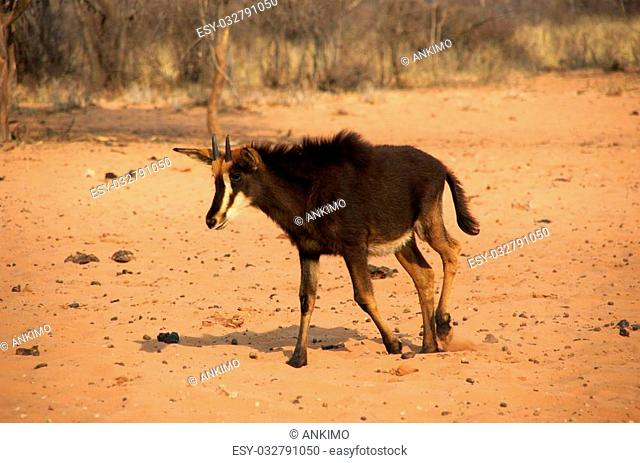 sable antelope are very rare in namibia. We had luck to capture this images at waterberg