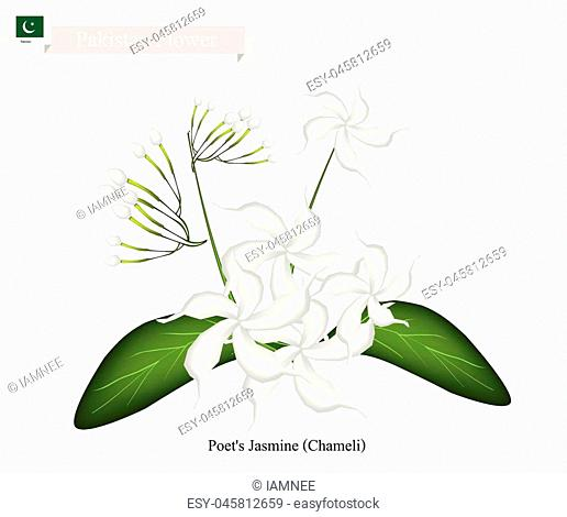 Pakistan Flower, Illustration of Poet's Jasmine or Chameli Flowers. The National Flower of Pakistan