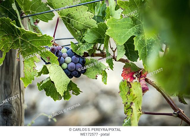 Vineyards for the production of organic wines in the surroundings of the town of Colera north of the Costa Brava in Gerona Catalonia Spain
