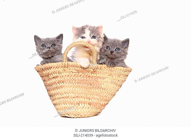Selkirk Rex. Three kittens (7 weeks old) in a shopping bag. Studio picture against a white background. Germany