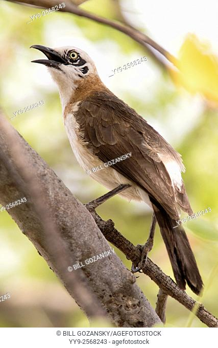 Bare-cheeked Babbler - Andersson's Camp - near Etosha National Park, Namibia, Africa