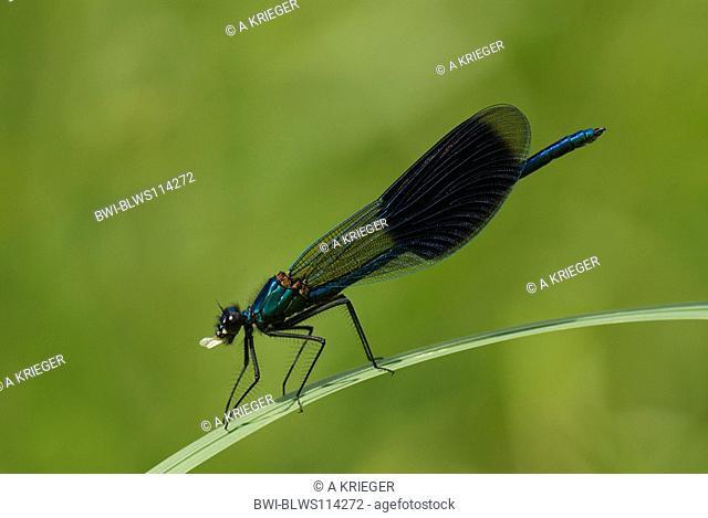 banded blackwings, banded agrion, banded demoiselle Calopteryx splendens, Agrion splendens, male eating, Germany, Saarland