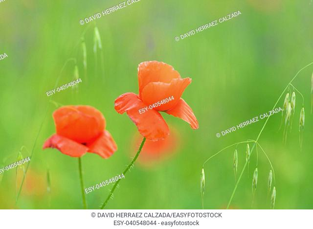 close up in poppy field and sun. Spring summer nature background concept. Shallow deep of field. Selective focus