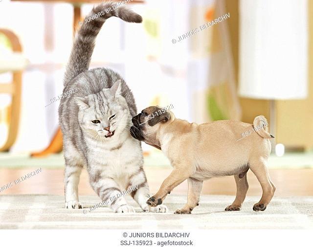 British Shorthair cat and pug puppy - fighting restrictions: Tierratgeber-Bücher / animal guidebooks